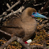Red-footed booby breeding, Genovesa Island, Galápagos Islands, Ecuador