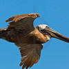 Brown pelican (adult) in flight, South Plaza, Galápagos Islands, Ecuador
