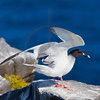Swallow-tailed gull speading its wings, South Plaza, Galápagos Islands, Ecuador