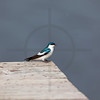 White-winged swallow perching on a jetty in the rain, Yasuní National Park, Ecuador
