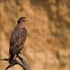 Crested serpent eagle, Rapti River, Chitwan, Nepal