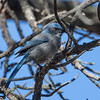 Western Scrub-Jay at Mt Falcon Park