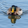 Mallard at Belmar Park