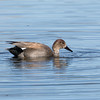 Gadwall at Belmar Park