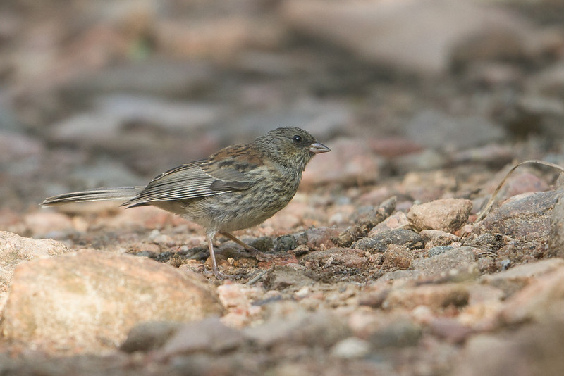 Juv. Dark-eyed Junco, Deer Creek Canyon Park