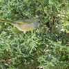 Green-tailed Towhee, Renalds Park, Jefferson County