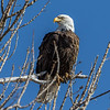 Bald Eagle at Cherry Creek State Park