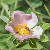Wild Rose at Mount Falcon Park