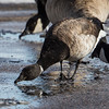 This Brant is drinking water from the street.  Redstone Park, Douglas Co.