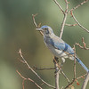 Westren Scrub-Jay, Deer Creek Canyon Park