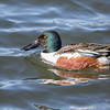 Northern Shoveler at Belmar Park