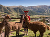 Peruvian trying to make a buck, or rather a Sol, by dressing up and offering to pose with llamas (Brenda Barnard Photographer)