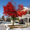 Blazing red maple after the first snow of the season