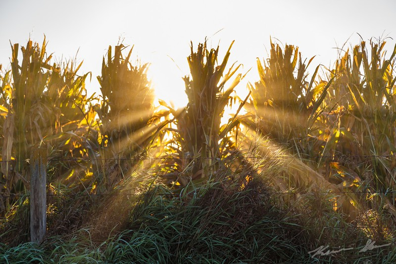 Sun beams through the corn ready to be harvested