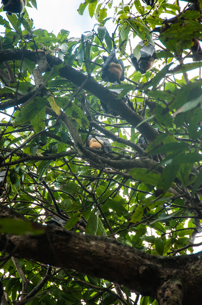 Fruit bats in Cairns