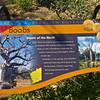 Boab tree, Kings Park