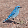 Mountain Bluebird at Chatfield State Park