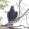 Common Black-Hawk, Rio Grande Village, Big Bend NP