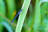Female Eastern Forktail Damselfly