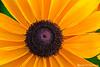 Rudbeckia - Gloriosa Daisy