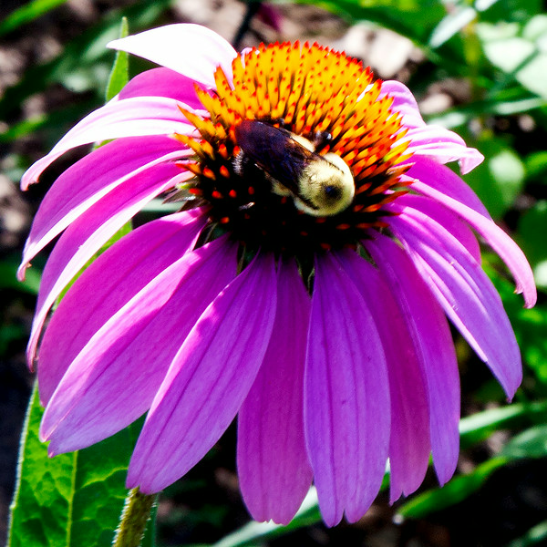 Echinacea and Bee
