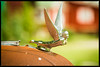 Hood Ornament at Red Oak II