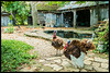 Turkeys Red Oak II