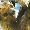 Cindy Pouyadou shares pictures of the Alabama Gulf Coast Zoo's newest residents. Adorable two-toed sloths Sid & Sylvia are officially calling the Gulf Coast home.