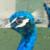 Peacock in profile, close-up