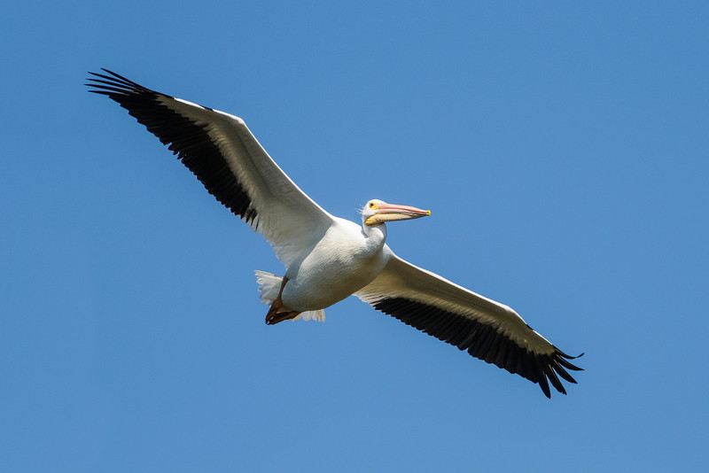 With a wing span of 9 feet, White Pelicans are one of the largest birds in North America.  They are very graceful fliers, often soaring in large groups, high in the sky.