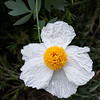 This white flower is a Matilija Poppy.  I really like all the folds in the petals.