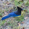 We ate at the Nepenthe Restaurant in Big Sur, California.  I was standing on their deck overlooking the grounds below and saw this Steller's Jay.  It was flying into a nearby oak tree, picking one acorn at a time, and then burying each one in the ground.