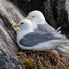 We also took a boat trip out of Stykkishólmur, Iceland.  We traveled around the Breiðafjörður Islands.  The captain of the ship was very good about identifying the birds that we were seeing.  She was also able to get us very close to some of the Kittiwake nests.  They are not very complicated; just some sea weeds piled on a small ledge.  By locating their nests in such an inaccessible place, the Kittiwakes don't have to worry about land predators.