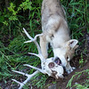 One of the props that we used was an old deer skull and antlers.  Hamburger, the pups' favorite snack, was pressed into the skull.  At first, the pups were so excited to be outside running that they totally ignored the hamburger.  After running around for a while, they rediscovered their appetite.