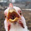 "A Tooth Fairy for a Chicken is About as ""Scarce as Hens Teeth"". (Figure Of Speech)"