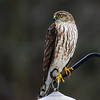 """Someone to watch over me"" Sharp-shinned Hawk"