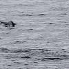 The Orca were apparently teaching their calves how to hunt Humpbacks.  The Humpback can be seen swimming away in the lower right