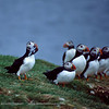 Puffin fishing contest