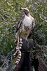 taken with a point and shoot April 2012 - Redtail Hawk with King snake