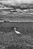 Everglades 033 BW  A beautiful Great White Egret on the hunt for breakfast in the tall grasses commonly found in the Everglades Park.  Check out the amazing detail in the clouds to help enhance the image.   This image can also be found in the Bird gallery, found via Nature.