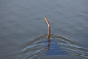 Royal Palm - Anhinga Trail - Anhinga swimming