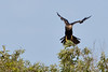 Anhinga landing - crop of previous