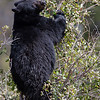 Black bear eating choke cherries