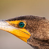 Shot along the Anhinga Trail just inside the Florida Everglades. Cormorants, wood storks, anhingas, herons and aligators can be found here in abundance.  Cormorants' eyes really are that color.