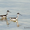 Black-necked stilt (Himantopus mexicanus)  They were spotted along the Florida Keys between Marathon and Key Largo.