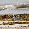 Sandwich Tern (Sterna sandvicenis)  Spotted along the beach in Key West.