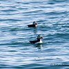 Puffins (Fratercula arctica). They were spotted on the way back from a whale watching cruise.