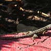 Common Side-bloched Lizard (Uta stansburiana)