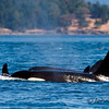San Juan Orcas Seen on a trip to the San Juan islands north of Seattle.
