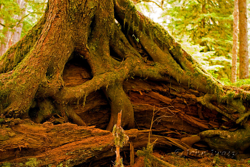 Rooted  Seen during a short hike in Mt. Rainier National Park.